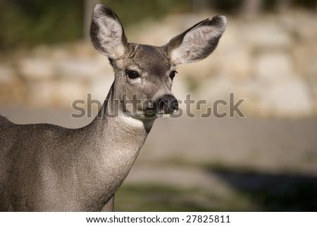 Mule deer close up