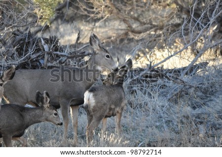Mule Deer Doe with her Fawn