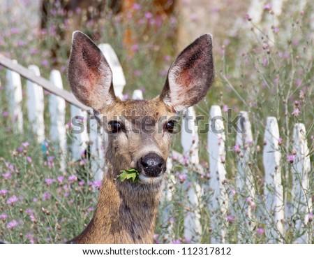Mule deer eating weeds in a flowery summer garden. - stock photo