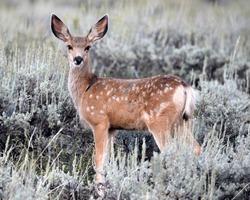 mule deer  fawn sagebrush eyelashes young deer