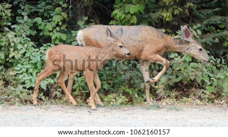 Mule deer female doe with baby fawn in Rocky Mountains in western United States