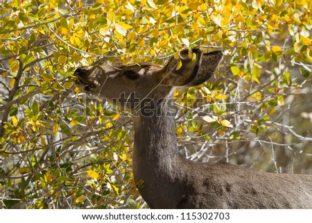 Mule Deer grazes in yellow autumn foliage
