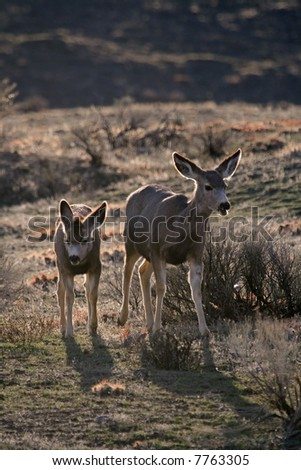 Mule deer (Odocoileus hemionus) mother with fawn, Yellowstone National Park, Wyoming