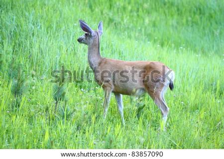 Mule Deer (Odocoileus hemionus) stands in a meadow of Custer State Park in South Dakota