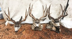 Mule Deer on display at hunting camp. Three trophy deer heads harvested in Sawtooth Mountains, Idaho, USA. Fun recreational outdoor sport activity of deer hunting.
