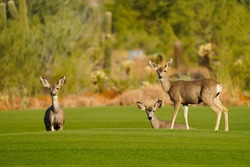 Mule Deer or Black-tailed Deer on a golf course posing for a portrait in Arizona