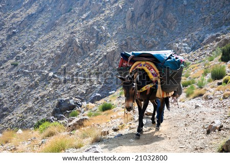 mule in the high atlas mountains