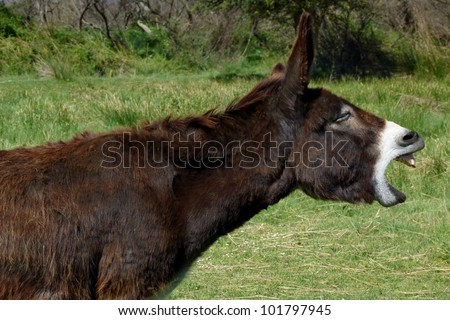 Mule making a noise