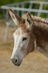 mule portrait brown and white mule with long fuzzy ears and happy face cute and cuddly in barnyard setting in rural area vertical format