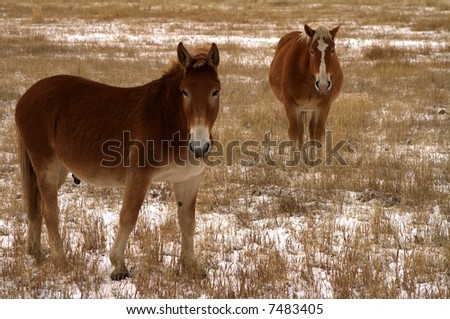 Mules grazing in pasture after light snow in Idaho