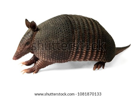 Mulita, Armadillo of six bands, on to white background.