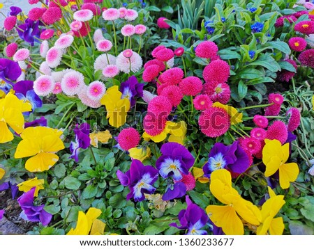 Multi-color or colorful flowers in the garden, It means spring time in Europe now. Spring time with flower background, freshness concepts