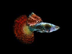 Multi color Poecilia reticulata,on black background with clipping path, platinum red dragon guppy fish