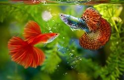 Multi color Poecilia reticulata,on nature background,platinum guppy fish