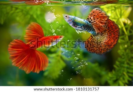 Multi color Poecilia reticulata,on nature background,platinum guppy fish Сток-фото ©