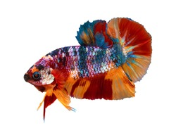 Multi color Siamese fighting fish(candy nemo),red and blue dragon fighting fish,Betta splendens,on white background with clipping path