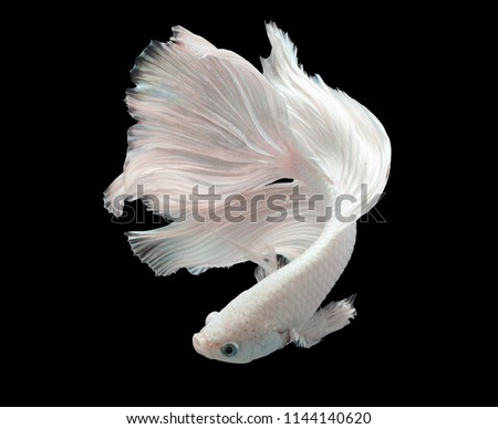 Multi color Siamese fighting fish(Rosetail)(half moon fancy),White fighting fish,Betta splendens,on black background with clipping path
