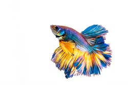 Multi color Siamese fighting fish(Rosetail)(half moon),fighting fish,Betta splendens also sometimes colloquially known as the Betta is one of the most popular aquarium fish,on White Background
