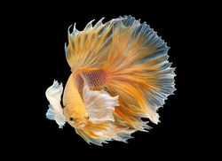 Multi color Siamese fighting fish(Rosetail)(halfmoon),dragon fighting fish,Betta splendens,on black background with clipping path,Dumbo ears