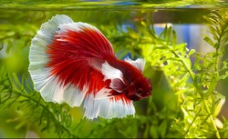 Multi color Siamese fighting fish(Rosetail)(halfmoon),dragon fighting fish,Betta splendens,on black background,Dumbo ears
