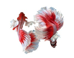Multi color Siamese fighting fish(Rosetail)(halfmoon),dragon fighting fish,Betta splendens,on white background with clipping path