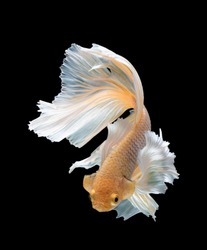 Multi color Siamese fighting fish(Rosetail)(halfmoon),fighting fish,Betta splendens,on black background with clipping path