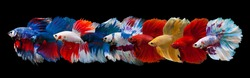 Multi color Siamese fighting fish(Rosetail-Halfmoon),fighting fish,Betta splendens,on black background