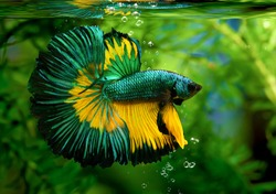 Multi color Siamese fighting fish(Rosetail)(halfmoon),fighting fish,Betta splendens,on nature background
