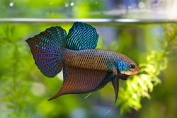 Multi color Siamese fighting fish(Rosetail)(halfmoon),fighting fish,Betta splendens,on nature background with clipping path