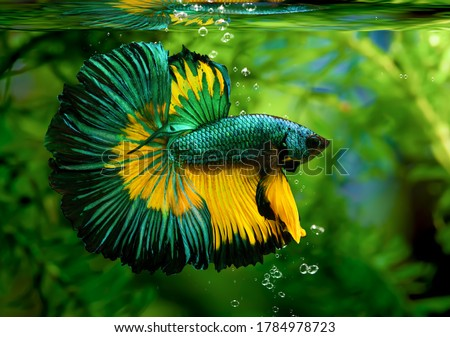 Multi color Siamese fighting fish(Rosetail)(halfmoon),fighting fish,Betta splendens,on nature background stock photo