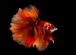Multi color Siamese fighting fish(Rosetail)(halfmoon nemo),fighting fish,Betta splendens,on black background with clipping path
