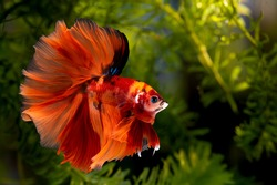 Multi color Siamese fighting fish(Rosetail)(halfmoon nemo),fighting fish,Betta splendens,on nature background with clipping path