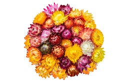 Multi-Color Straw Flowers (Everlasting Flowers or Paper Flowers) on white isolated