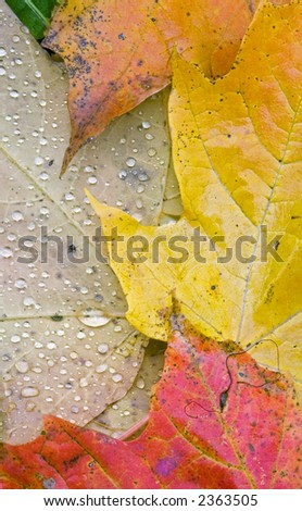 Multi-colored autumn leaves wet by recent rainfall - vertical orientation