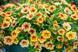 Multi colored Calibrachoa, Million bells flower for background