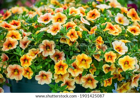 Multi colored Calibrachoa, Million bells flower for background Stock fotó ©