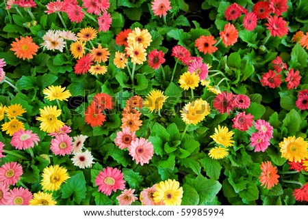 Multi-colored daisy flowers