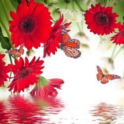 Multi-colored gerbera daisies and butterfly on a white background