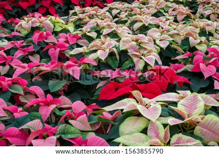 Multi-colored poinsettia leaves. View from above pink, red and white holiday plants.