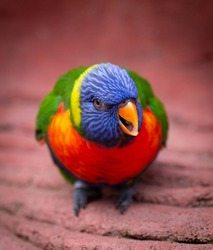 Multi colored Swainsons Lorikeet open beak