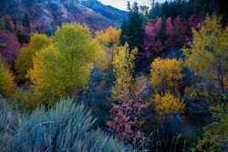 Multi-colored trees and shrubs in a high mountain setting.  The colors of Autumn are a never ending delight for the traveler along mountain roads.
