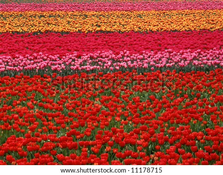 Multi colored tulip field in the Netherlands - stock photo