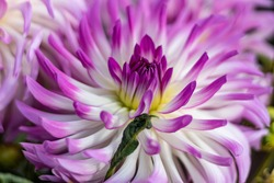 MUlti-colored (white -yellow - violet-rose) dahlia close up.A herbaceous perennial plant with swollen fleshy tubers . Blur background. White-yellow petals.