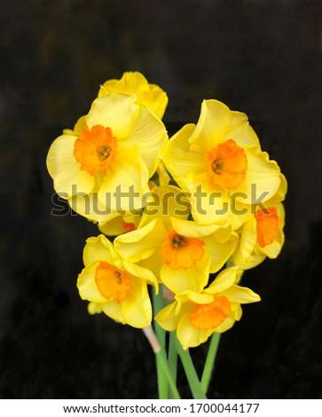 Multi Head Narcissus Grand Soleil d'Or Mini Daffodil Close Up Black background Photo stock ©
