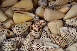 Multi-toned brown and beige seashells