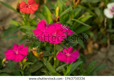 Multicolor flower Plants Sweet William is an irresistible, colorful, biennial flower and It grows for two years and blooming in the second year Stock photo ©