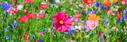 Multicolor flowers in meadow in summer. Wild colorful vivid field, banner background. Pink Cosmos flower background
