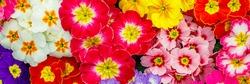 Multicolor Garden Primula Flowers, top view. Primrose Primula Vulgaris bloom, banner