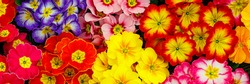 Multicolor Garden Primula Flowers, top view. Primrose Primula Vulgaris blossom, banner. Easter holiday card