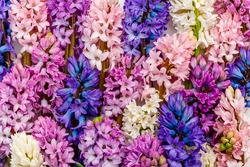 Multicolor hyacinth flowers collection. Beautiful Spring hyacinths blossom. Multicolored blooms Hyacinth Orientalis mixed